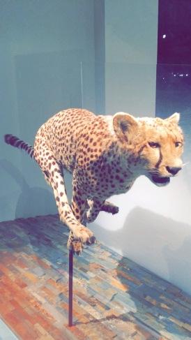 Cheetah, Natural History Museum Los Angeles, CA, Chantal Boyajian, First Fridays.JPG